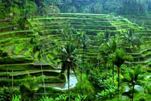 Rice terrace di Ubud
