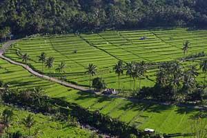Pemandangan sawah di desa Pupuan