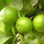 Jeruk nipis dan obat obesitas